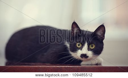 The Black And White Domestic Cat