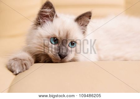 Cute little kitten lying on sofa close up