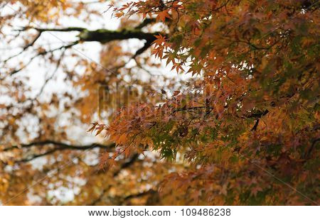 Maple Tree Yellow And Orange On Sunny Day In Autumn