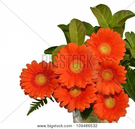 Chrysanthemums with white background