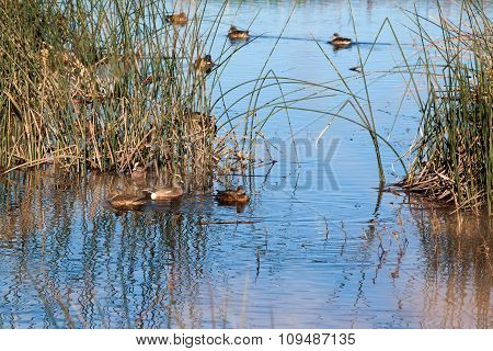 Wetland and Wigeons