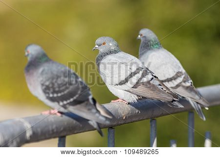 Three Pigeons Sitting On The Railing