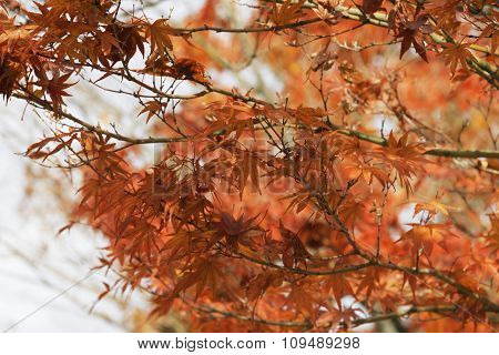 Orange  Leaves Branch On Trees Closeup In Autumn