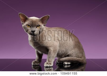 Burma Cat Sits And Looking In Camera On Purple