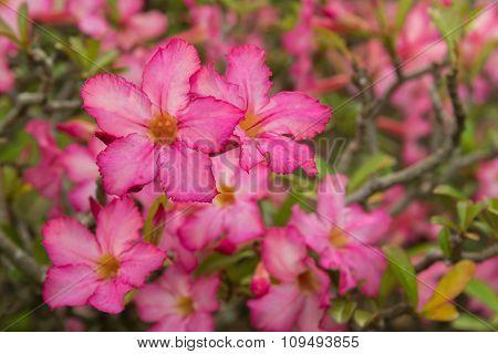 A red desert rose (Adenium), Desert Rose Red Flower