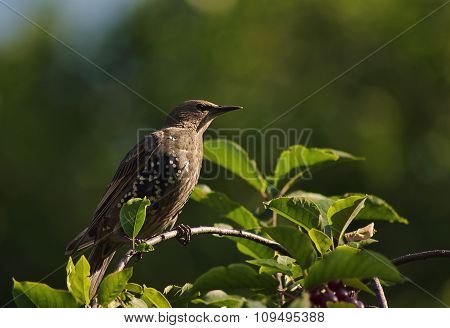 Starling on a tree branch.