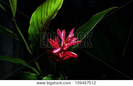 Galangal Flower
