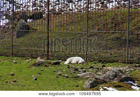 baby Yak sleeping in the aviary
