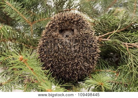 Frightened hedgehog balled up on background fir and juniper branches