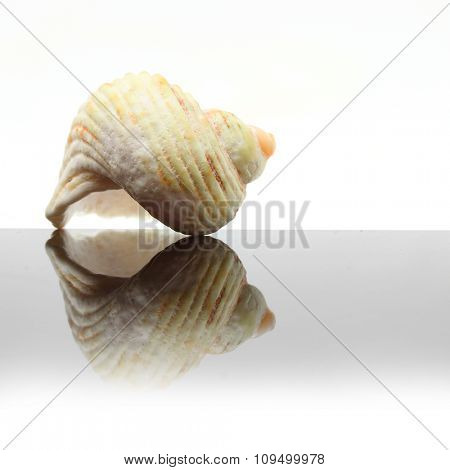 Sea Shell on glass plate. Decorative object on white background.