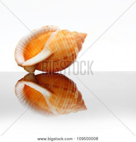 Sea Shell of The Phalium Bandatum on glass plate. Decorative object on white background.