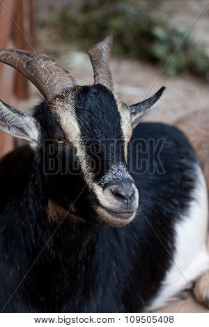 black goat in zoo