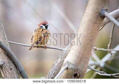 Sparrow On The Branch