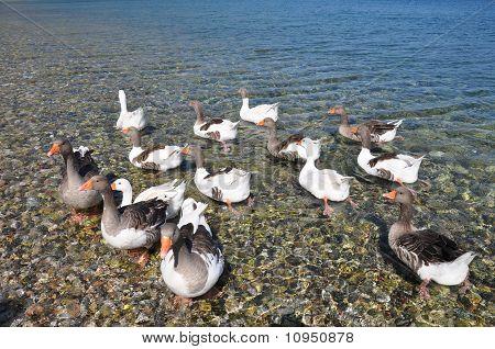 Wild Ducks at Sea