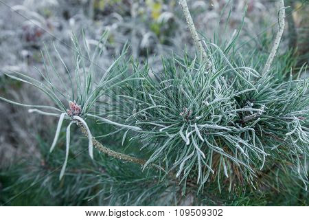 Sprig Pine Covered With Rime