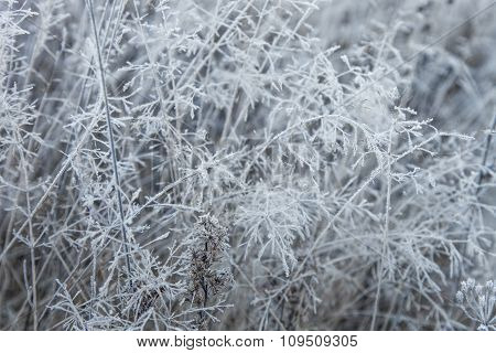 Dry Grass Covered With Frost