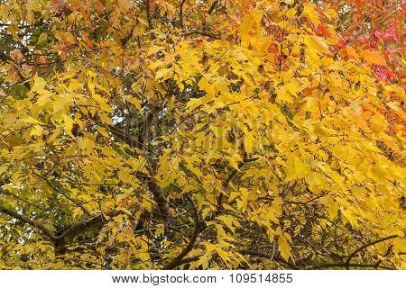 Fall Tree Leaves