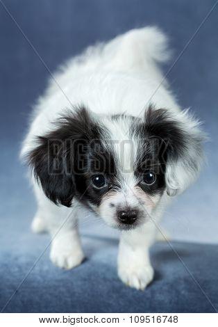Portrait Of A Cute Puppy Papillon
