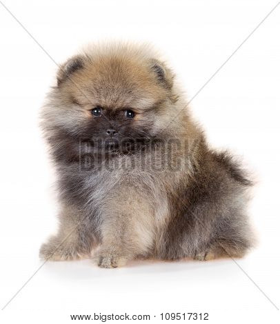 Pomeranian Puppy On A White Background
