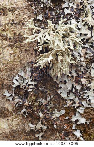 Lichen Formation On A Textured Tree Bark