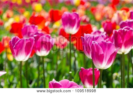 Bright Tulips On A Sunny Day