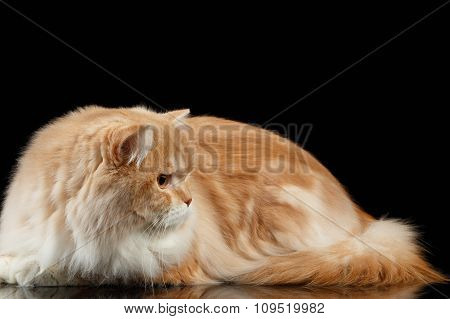 Red Big Adult Persian Cat Angry Lies And Turned Right On Black
