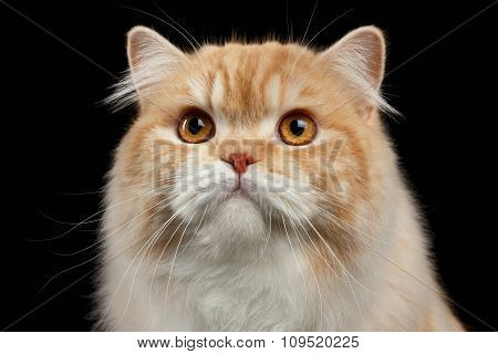 Closeup Portrait Of Red Big Persian Cat Angry Looking On Black