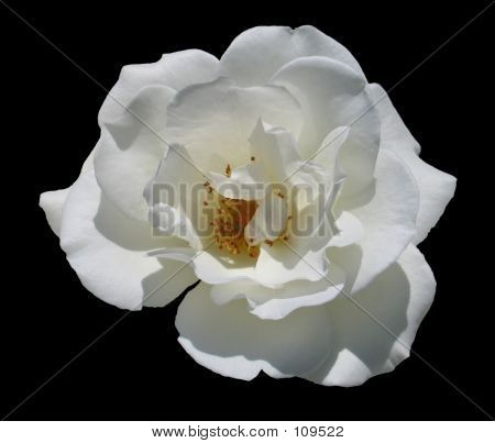 White Flower With Black Background