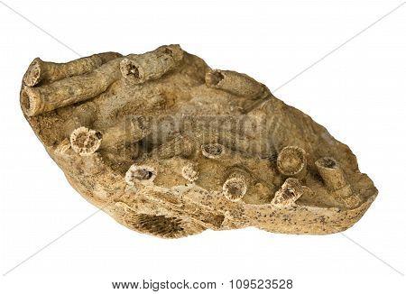 Several fossilized corals in limestone