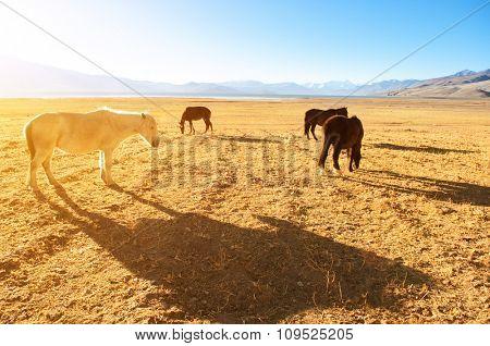 Horses eating grass at Tsomoriri lake in a beautiful morning sunrise, Ladakh, northern India.