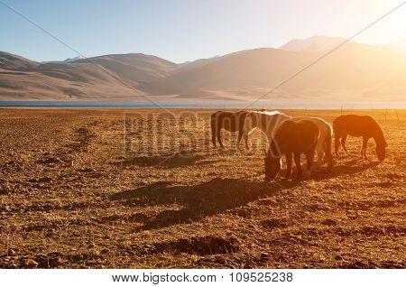 Horses eating grass at Tsomoriri lake during beautiful sunrise, Ladakh, northern India.