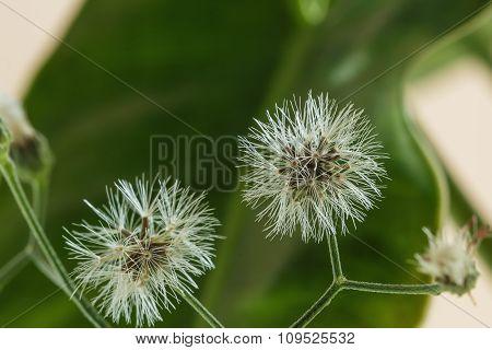 Grass Flowers White