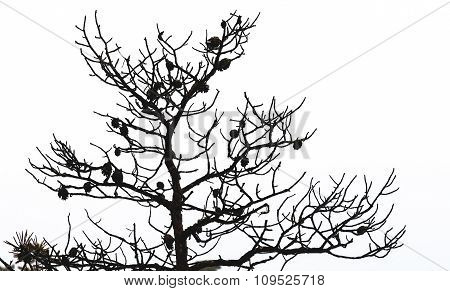 Bare Pine Tree Branches With Cones