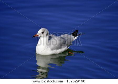 Seagull swimming in Vilamoura marina