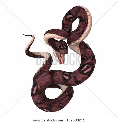 Anaconda Snake On White