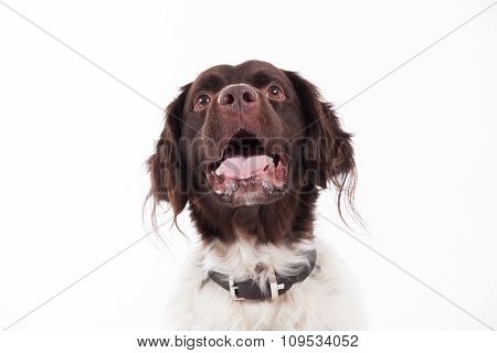 Portrait Of Dutch Partridge Dog