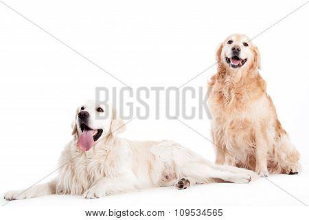 2 Golder Retriever Dogs