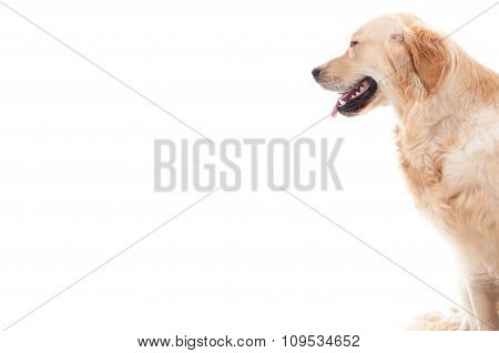 Golder Retriever Looks Into The White