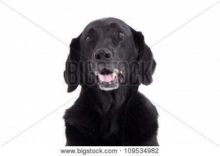 Portrait Of Labrador
