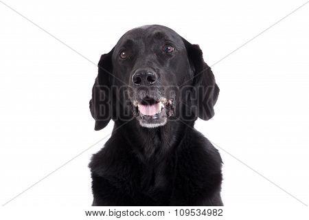 Portrait Of Labrador