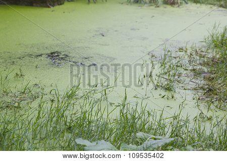 Lush Green Swamp