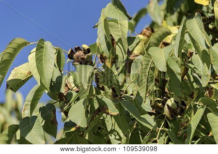 Group of several  ripe walnuts fruit  in the twig