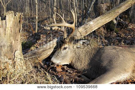 Wisconsin Whitetail Buck Shot Hunting