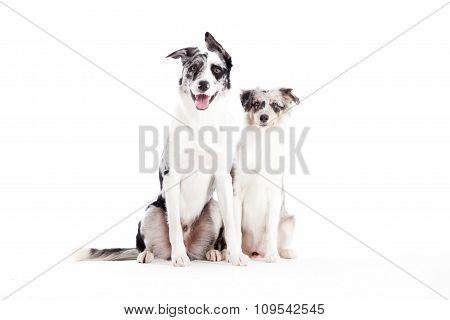 2  Blue Merle Dogs Looking
