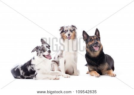2 Dogs  Blue Merle And Sheppard