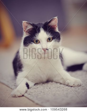 Portrait Of A Black-and-white Domestic Cat