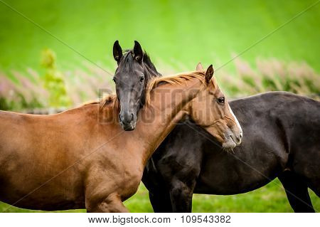 Two Horses Embracing.