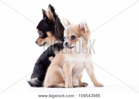 Lovely Chihuahua Dogs