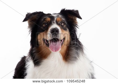 Border Collie With Tonque