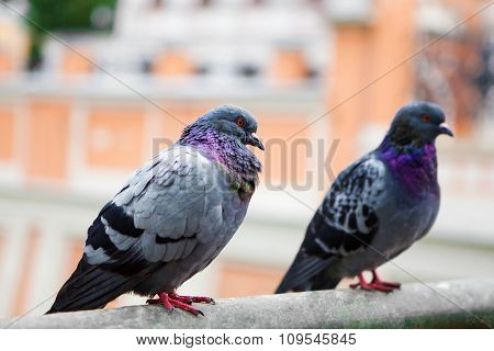 Pigeons of the Church.